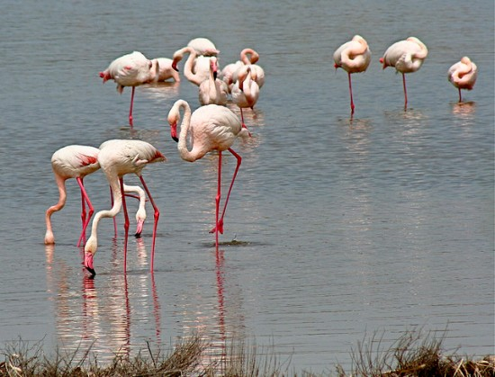 Places to go with kids in Cagliari: Pink Flamingos